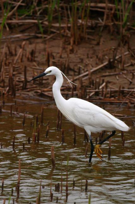 黄嘴白鹭,岩鹭都是国家二级重点保护动物