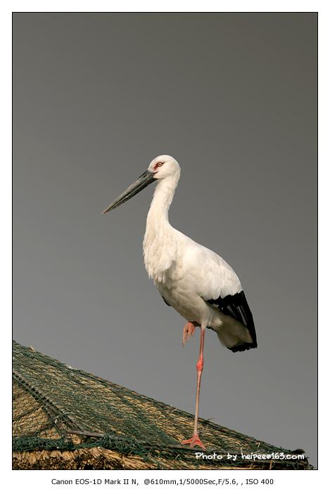 有时也喜欢在栖息地的上空飞翔盘旋